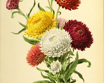 flowers-28241 - Immortals, Xerochrysum bracteatum, Helichrysum bracteatum, golden everlasting or strawflower, digital bouquet image picture