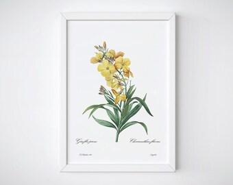 Botanical Print, Botanical Flower, Botanical Art Prints, Pierre J Redoute, Botanical Poster, Yellow | Giroflée jaune : Cheuranthus flavus