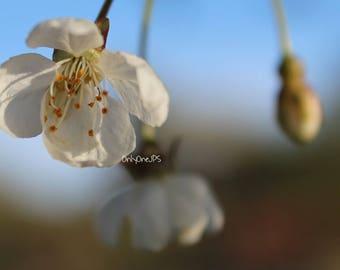 Cherry Blossom in my Little French Garden