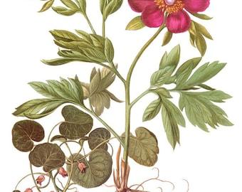 antique botanical print paeonia peregrina peony red flower illustration digital download