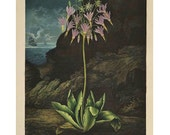 American Cowslip Temple of Flora Large for Framing SALE Buy 3, get 1 Free