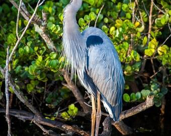 Great Blue Heron Photograph, Bird Portrait, Mangroves, Florida Everglades, Nature Photography, Wildlife - fine art photograph