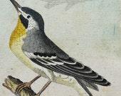 1780 Antique Buffon print of a TROPICAL BIRD. Exotic Bird. Paridise Bird. Ornithology. 237 years old copper engraving