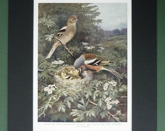 1930s Antique Ornithology Print of Common Chaffinches, Garden Bird Nest Gift, Chaffinch Decor, Available Framed, Nature Art Wildlife Picture