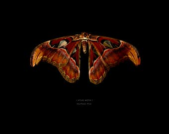 The Atlas Moth  - Print without frame