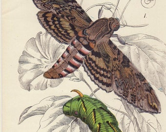 """Sphinx Moth Caterpillar 1896 Antique Moth Print Vintage Insect Print Matted 8 X 10"""""""