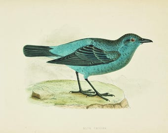 Blue Thrush. Antique Bird Print by Charles Bree, Hand Coloured Book Plate, 1860s