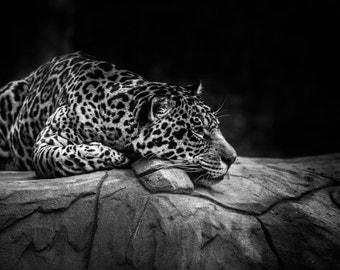 Jaguar - Metal Print