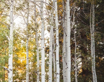 Fine Art Print, Tree Photo, Aspen Trees, Lake Tahoe Art, Mountains, White, Golden, Woodland Art, Woods, Nature Photography, Resort Art