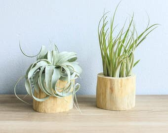 Set of 2 Driftwood Air Plant Containers with Custom Air Plants - Fast FREE Shipping - 30 Day Guarantee - Air Plant Holder