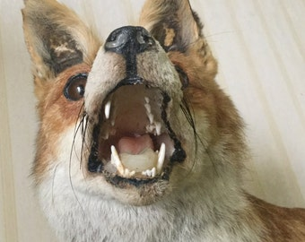 REDUCED French Antique / Vintage Taxidermy Free Standing Red Fox, Hunting Trophy
