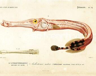 1861 Trumpet fish print, antique fish print, Orbigny, Ocean Home Decor Wall art,