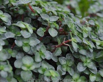 Pilea glauca, Red Stem Pilea, Silver Sprinkles for Miniature Garden, Fairy Garden