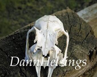 Animal skull photography Gothic photograph