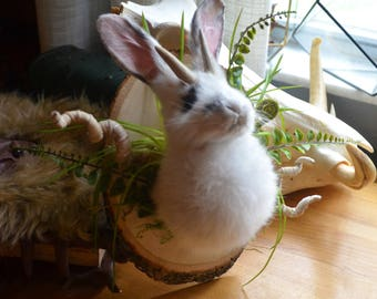 Fluffy Adorable White Jackelope Real Taxidermy