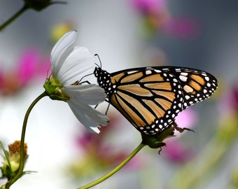 monarch butterfly on a cosmos flower print
