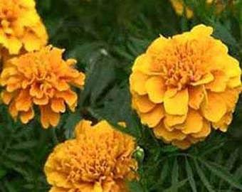 Apricot Marigold Flower Seeds/Tagetes Erecta Calando/Annual    50+