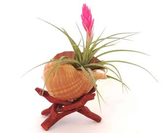 Stricta Air Plant in Shell , Wooden Holder  Home Decor , Desk Accessory , Office Decor