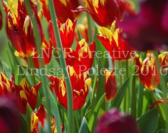 Red and Yellow Tulips Photo Unframed, Tulip Print,Flowers,Fine Art Photograph,Garden Print,Colorful Flowers,Spring Flower,Nature Photography