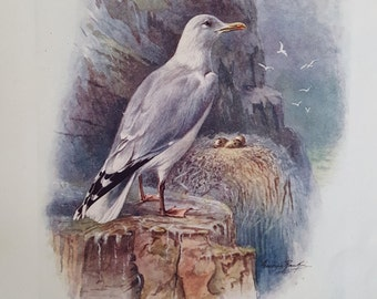 Antique Book Print, Antique Bird Print, Herring Gull, George Rankin c1910 Original Lithograph