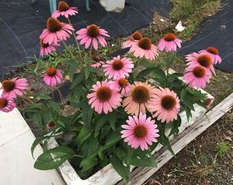 Echinacea purpurea, Echinacea, Purple Coneflower, Medicinal Seeds, 40 Seeds Per Pack, Organic, GMO Free, Echinacea