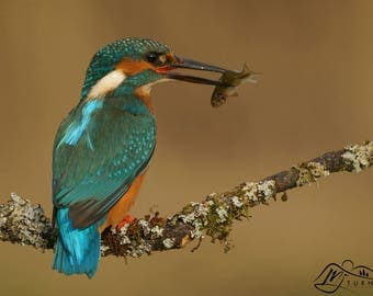 Kingfisher (Perched)