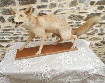 Gorgeous Vintage French Mounted Fox on wooden Plinthe