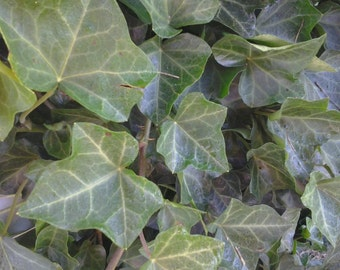 5 BALTIC IVY sub zero ivy bare root (Hedera helix) 5 plants