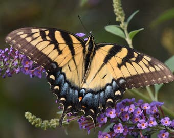Swallowtail on Butterfly Bush, 2