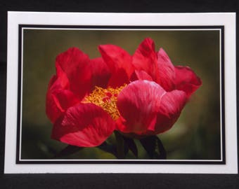 A Peony In Bloom 5x7 Blank Card By ThomasMinutoloPhotos