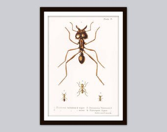 1888 ANTS Rare Antique Entomological Print | Coloured Leaf-Cutting & Thief Ant Illustration | Bugs, Insects, Natural History Wall Art