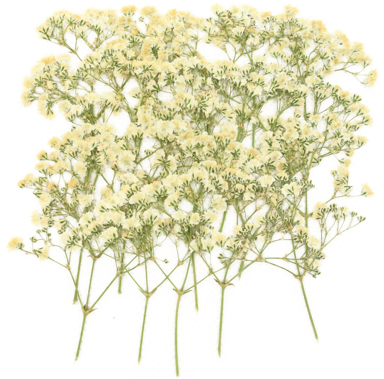 Pressed flowers white baby breath gypsophila 20pcs for floral