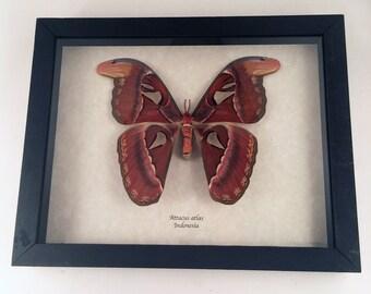 Real moth framed - Attacus atlas female