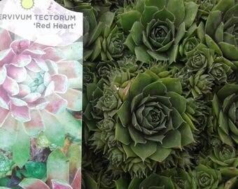 12 for 25 Hardy Hens & Chicks-Succulent, Sempervivum Tectorum