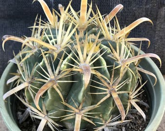 Yellow Spine Crow Claw Cactus Succulent