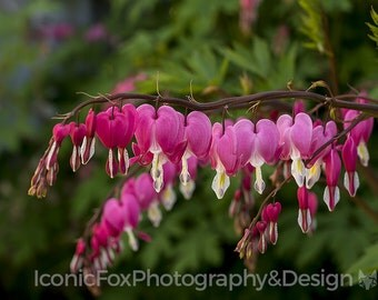Instant Digital Download Printable Fine Art Photography Bleeding Hearts 4x6