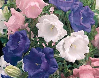 50+ Campanula Canterbury Bells,  DOUBLE MIX / Perennial Rabbit & Deer Resistant / Flower Seeds