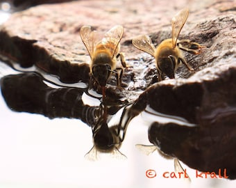 Bees Drinking 2