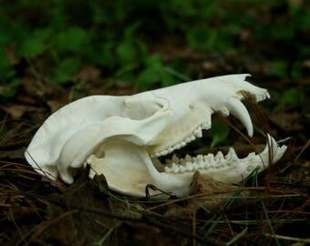 Irregular Opossum Skull