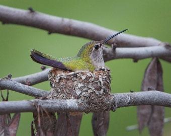 Annas Humming Bird, Female on her nest