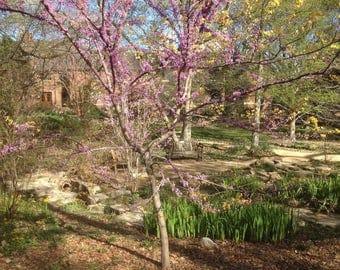 Chapel Hill Postcard - Coker Arboretum in the Spring