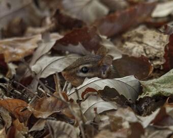 Chipmunk in Leaves