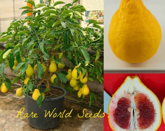 Citrus 'Shatian Pomelo' Pear-shaped Pummelo Grapefruit from China SUPER SWEET! seeds.