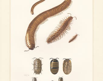 Vintage lithograph of pill-bugs, millipedes, common pill-bug from 1956