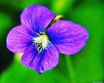 Violet Infused Oil