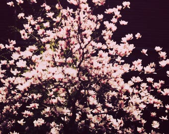 Magnolia Tree Photograph