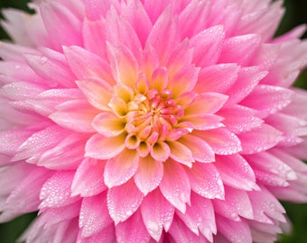 Pink Dahlia Photo, Flower Photography, Floral Wall Art - 16x24 to 20x30 Inch Print Sale