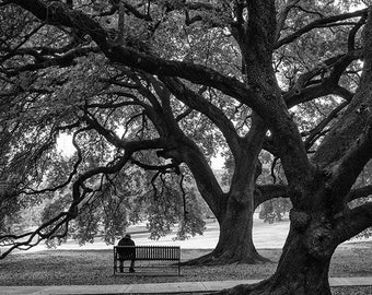 In the Shade of the Mighty Oaks, black and white photograph, landscape photo, picture of big trees