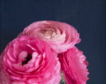 Nature photography, pink ranunculus photo, floral decor, flower photography, pink, navy blue, shabby chic decor - The Pink Curls