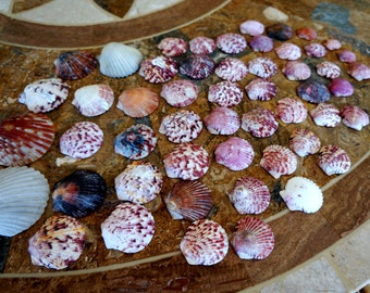 Scallop Sea Shells Florida Seashore Variety Pack 52 Shells Lot 17